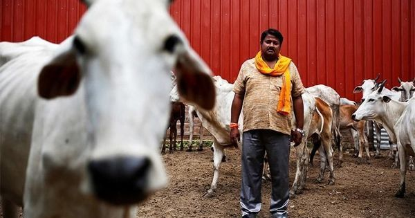 Delhi Government Says It is Obligated To Protect Cows Under Constitution